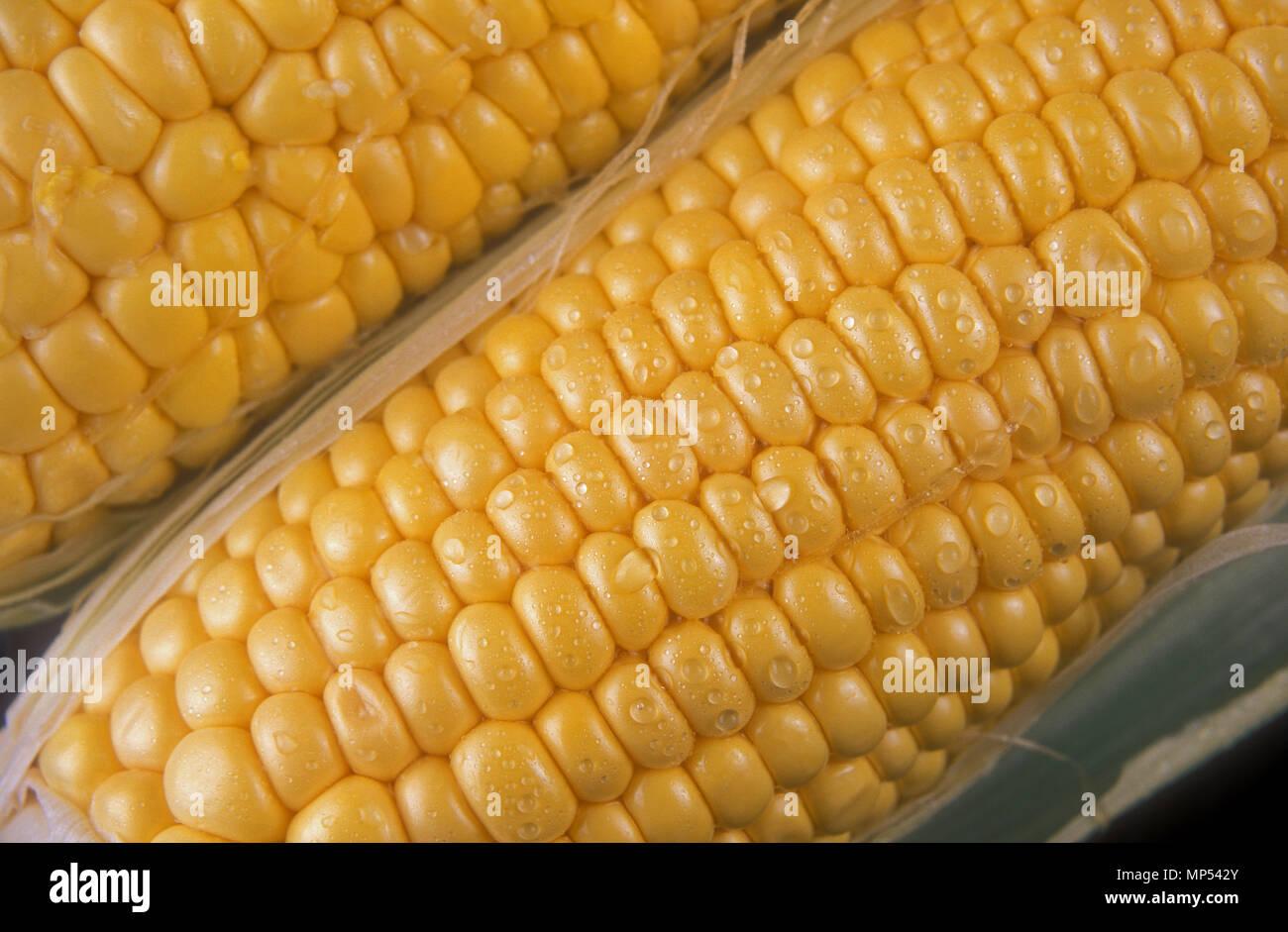 HARVESTED SWEET CORN (ZEA MAYS) - Stock Image