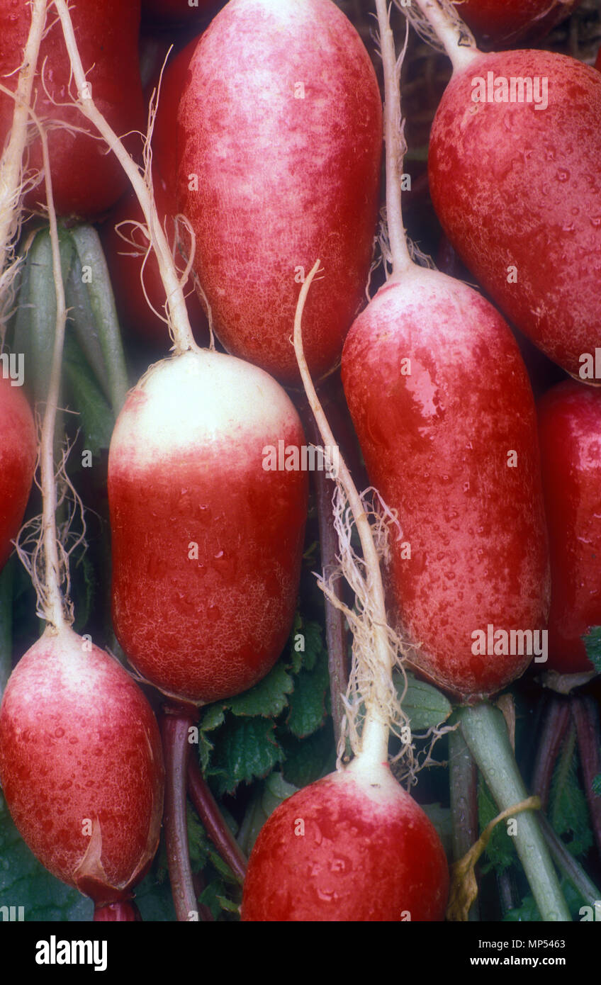 RADISHES 'FRENCH BREAKFAST' (RAPHANUS SATIVUS) Stock Photo