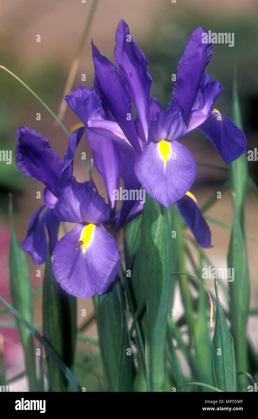 Blue Purple Iris Flower Irises Stock Photos Blue Purple Iris