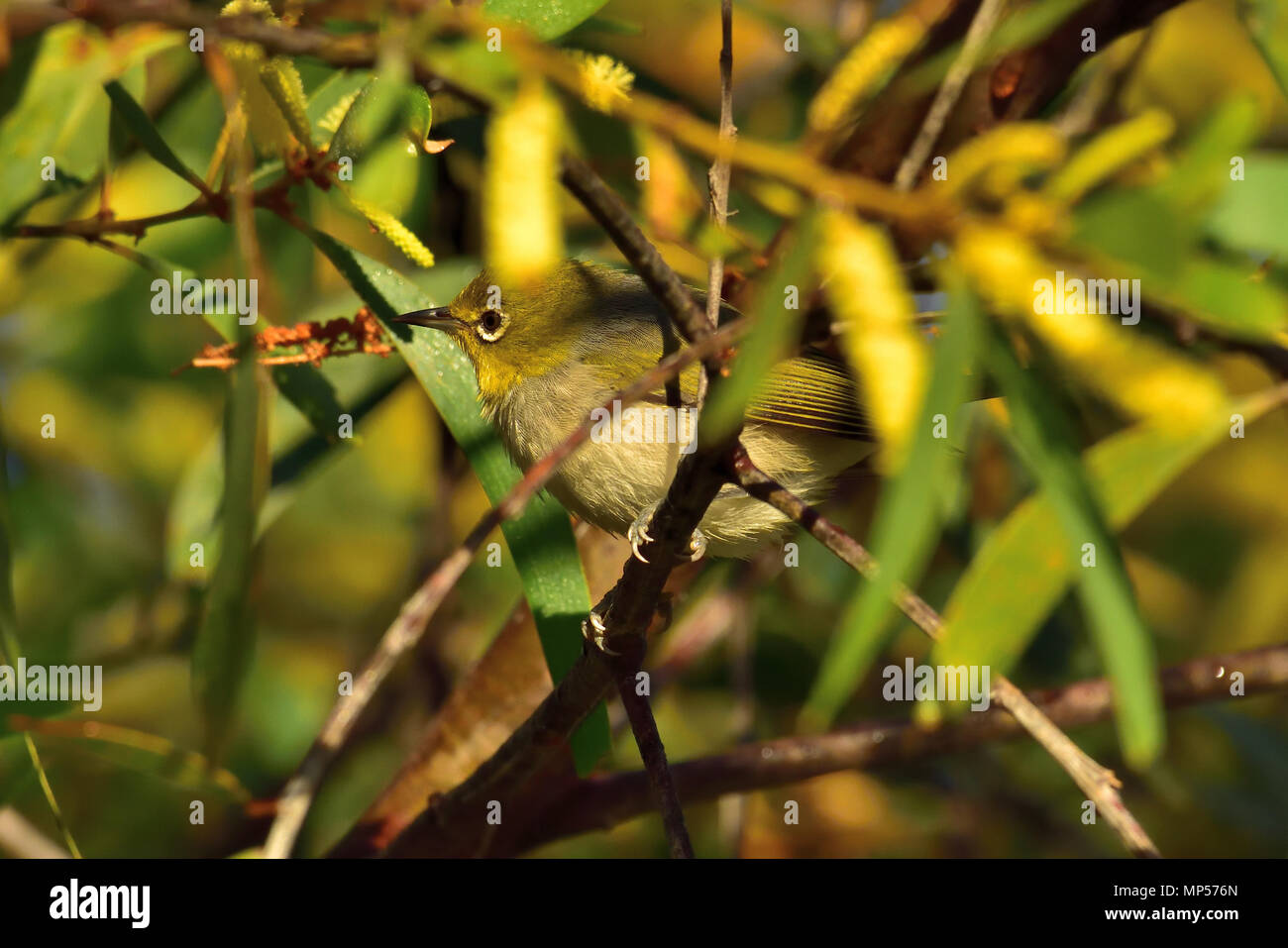 An Australian, Queensland Silvereye, Zosterops lateralis resting on a Tree branch in thick bush - Stock Image
