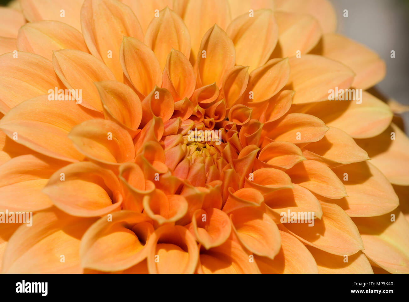 Close Up Detail Or Orange Dahlia Flower Stock Photo 185750880 Alamy