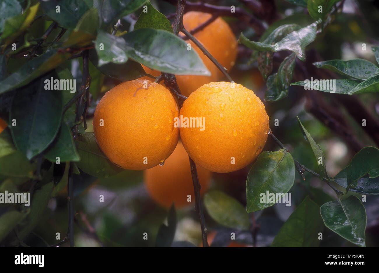 ORANGES CLOSE-UP (CITRUS SINENSIS ) - Stock Image