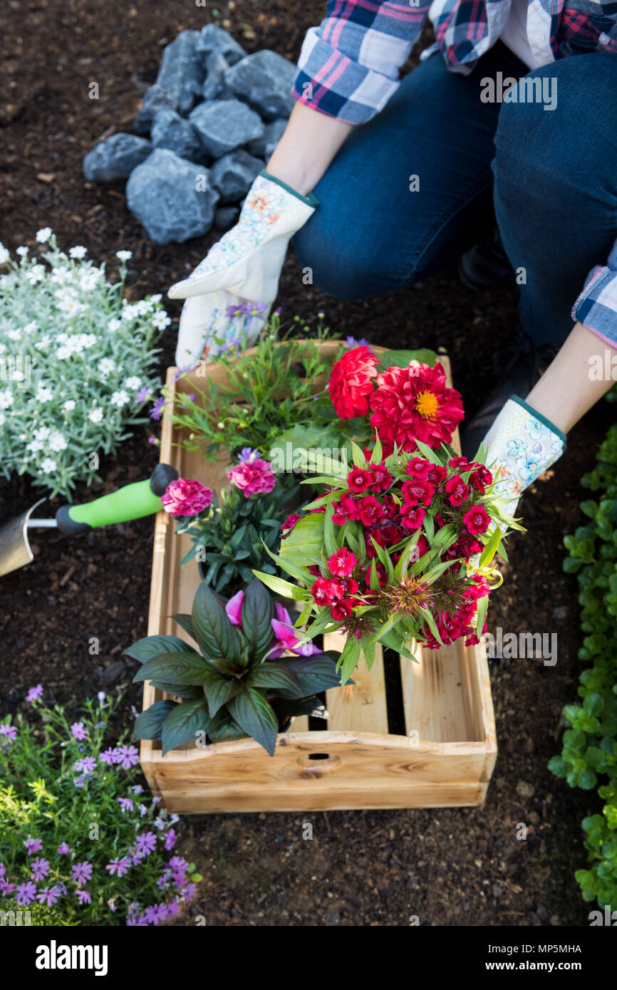 Unrecognisable female gardener holding crate full of beautiful flowers ready to be planted. Gardening concept. Garden Landscaping business startup. - Stock Image
