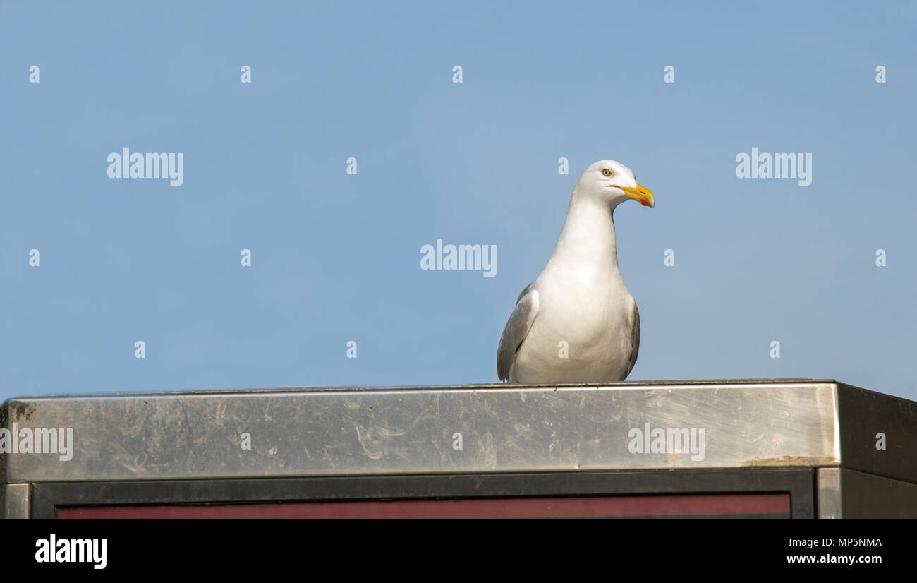 Seagull standing on the top of a modern telephone kiosk - Stock Image