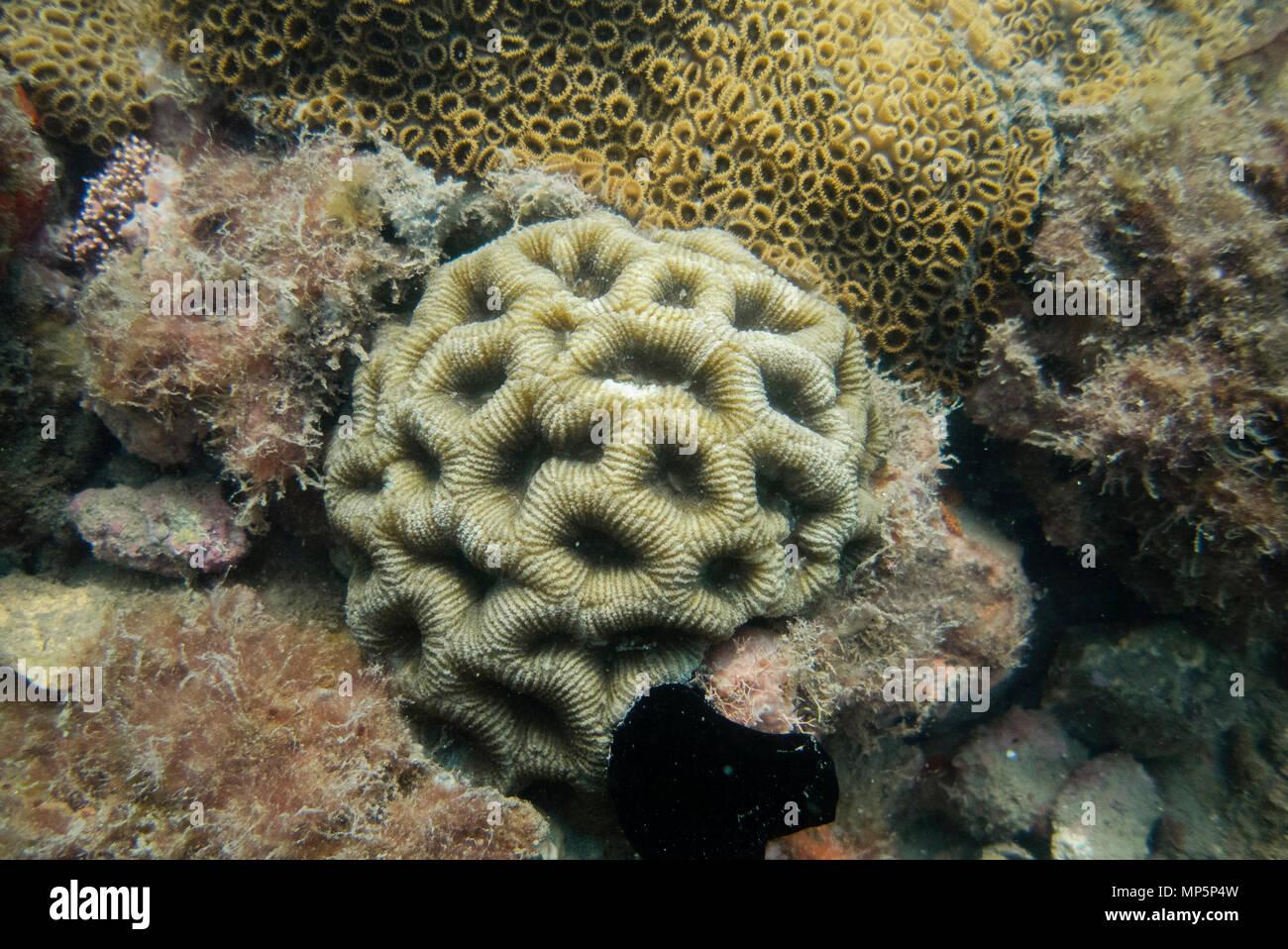 Brain Coral in Ilhabela, SE Brazil - Stock Image