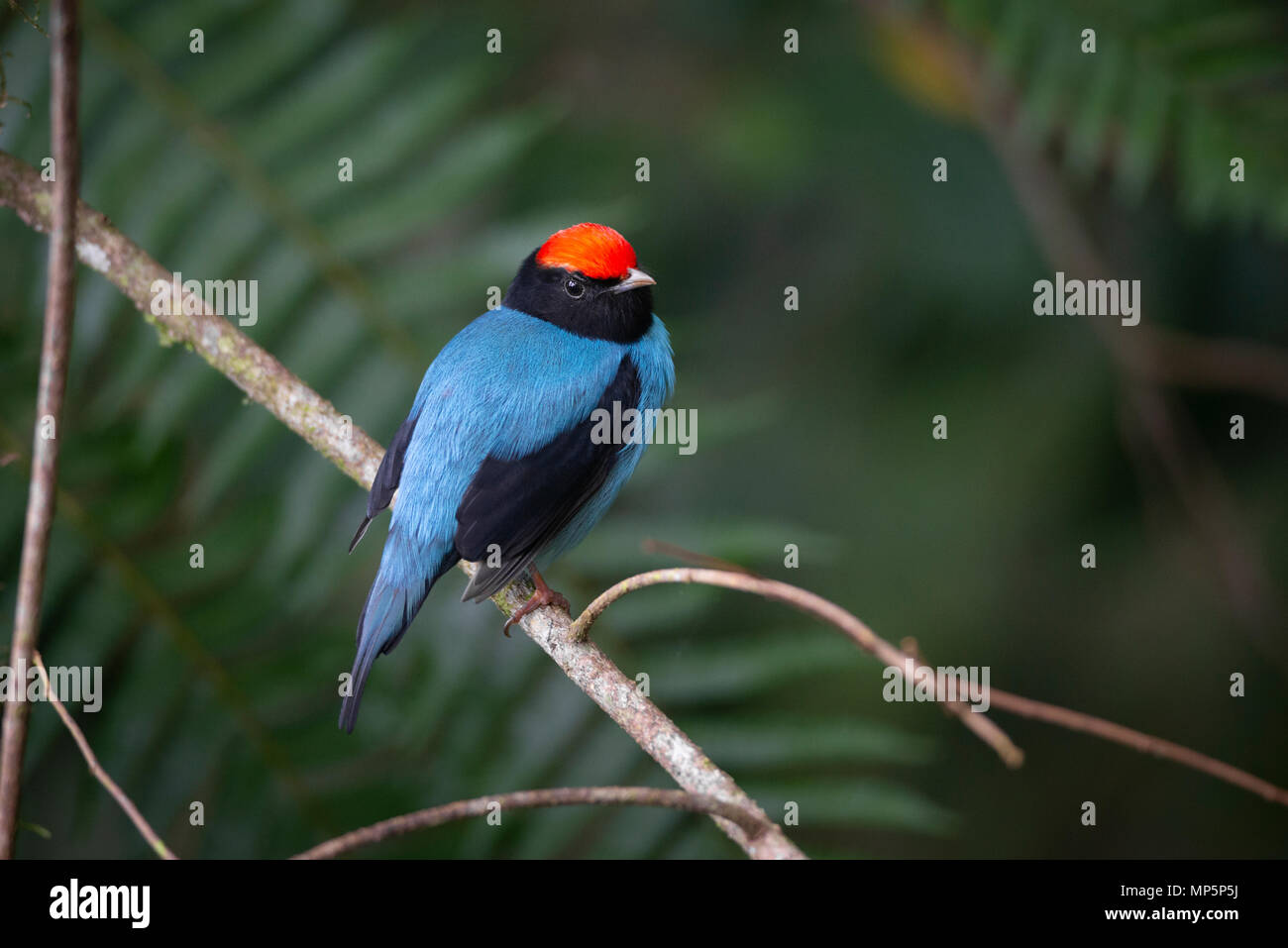 The gorgeous Blue Manakin from the Atlantic Rainforest - Stock Image