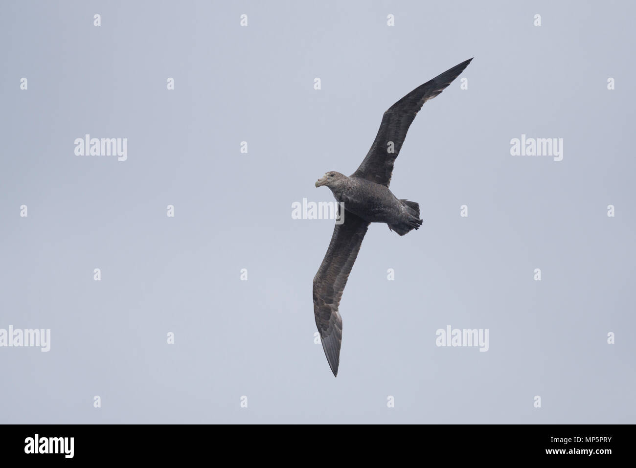 Immature Southern Giant Petrel soaring above the waters of the Straits of Magellan, in Southern Chile - Stock Image