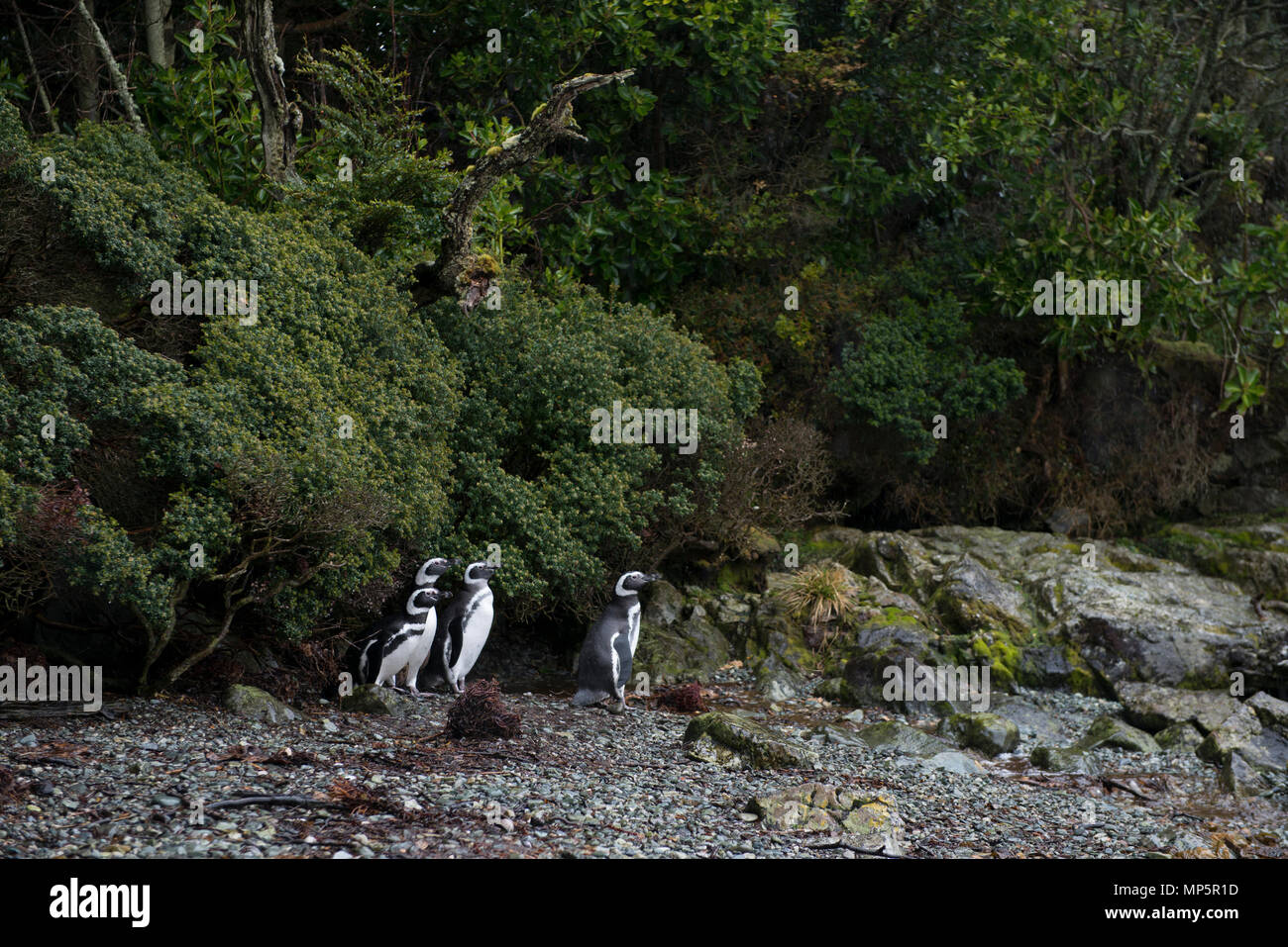 Magellanic Penguins on the edge of forest, at a remote island in Francisco Coloane Marine Reserve, South Chile. - Stock Image