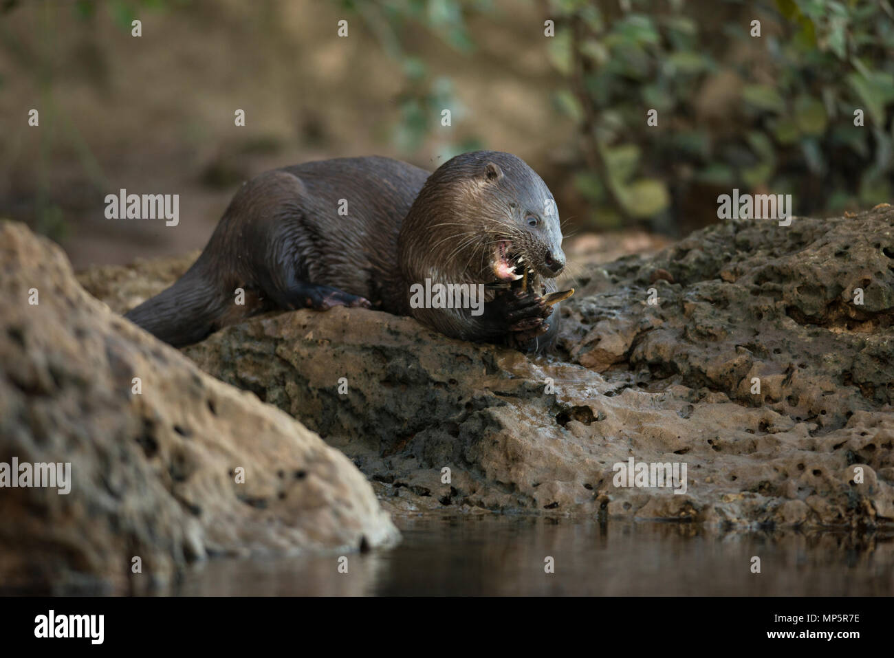 Neotropical River Otter (Lontra longicaudis) eating a catfish in South Pantanal, Brazil - Stock Image