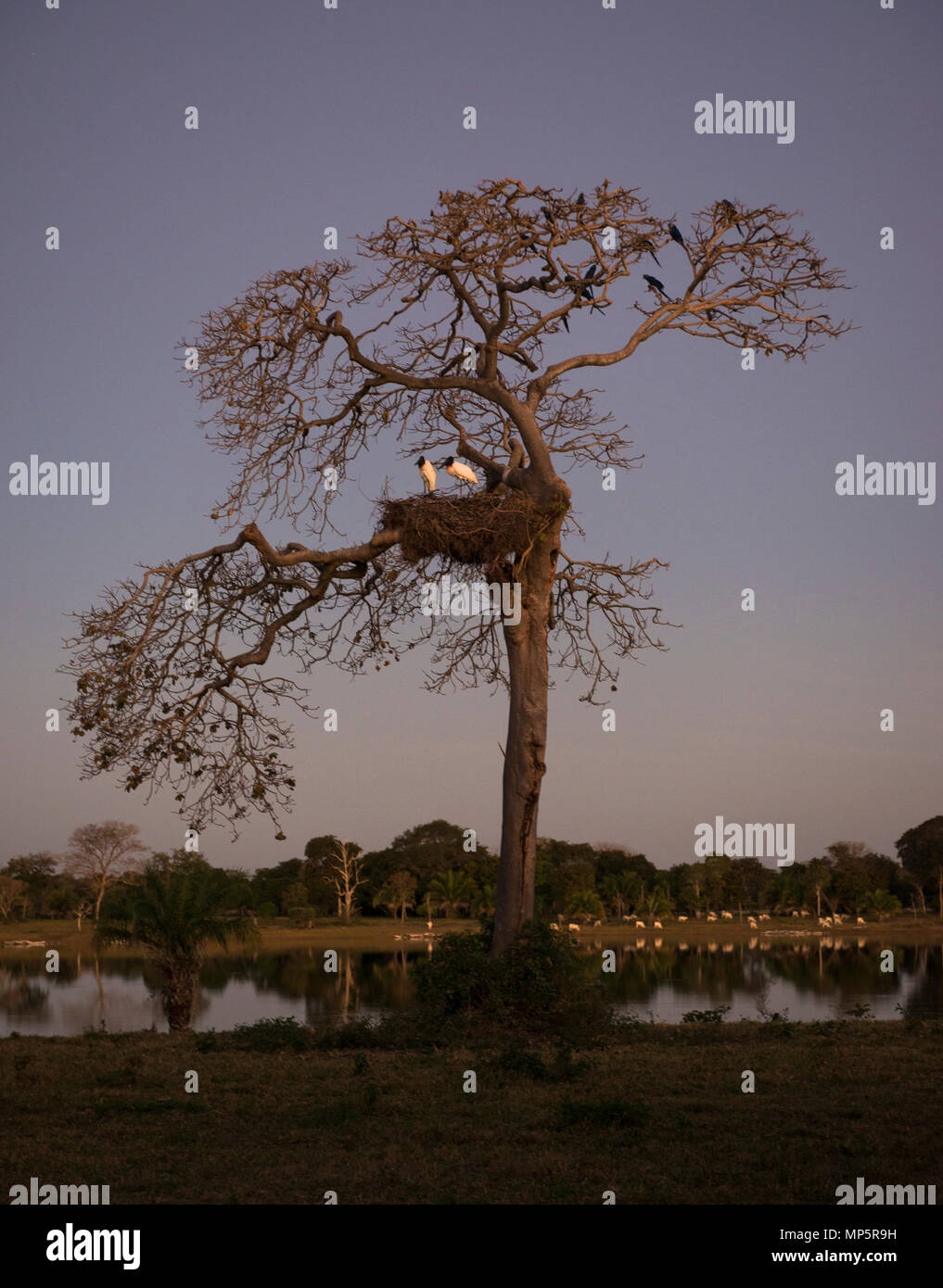A Manduvi Tree with nesting Jabirus and Hyacinth Macaws, from South Pantanal, Brazil - Stock Image