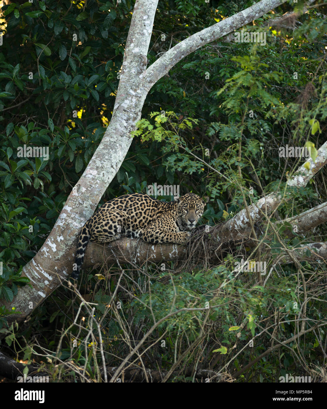 A Jaguar resting on a tree in North Pantanal, Brazil - Stock Image
