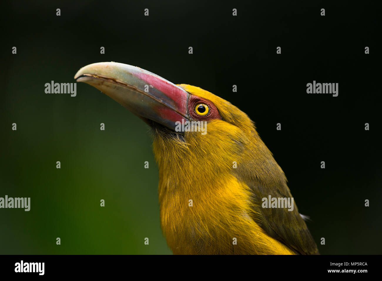 Saffron Toucanet (Pteroglossus bailloni) closeu-up, from the Atlantic Rainforests of SE Brazil - Stock Image