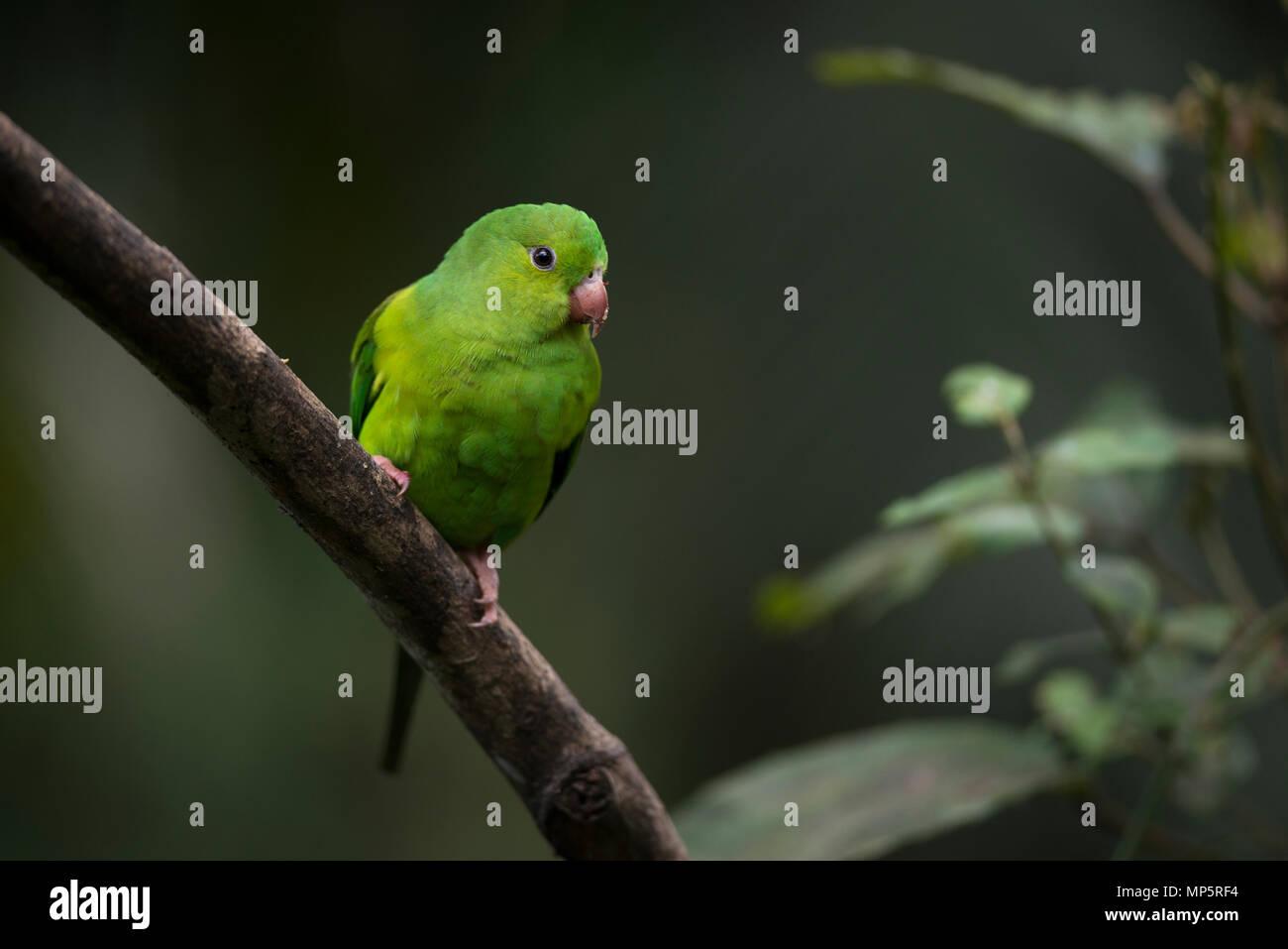 A Plain Parakeet (Brotogeris tirica) from the Atlantic Rainforest of SE Brazil - Stock Image