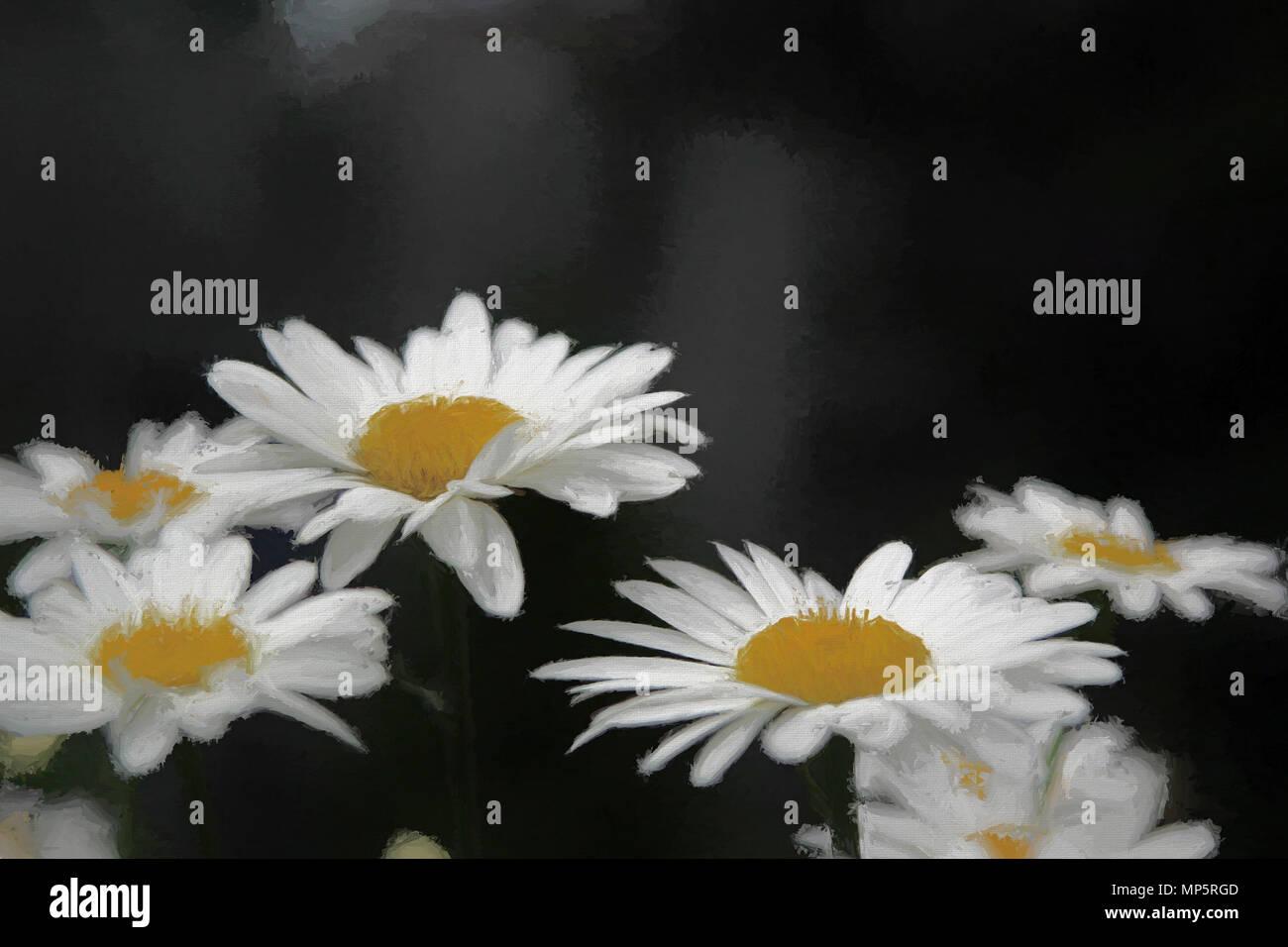 Soft Daisies on Black - Stock Image