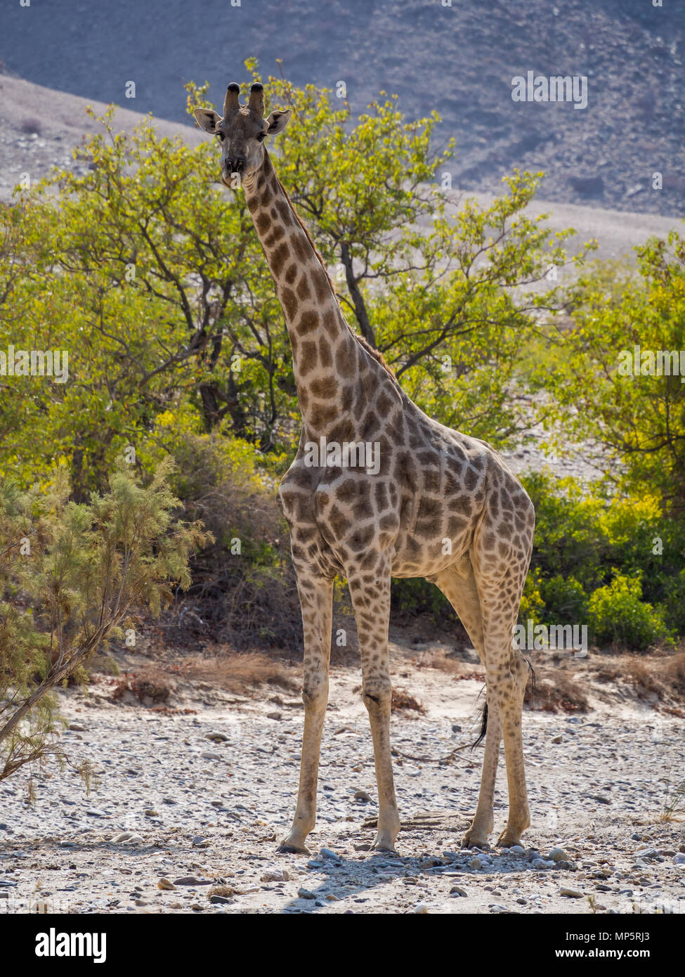 Large giraffe standing in rocky dry river bed with green trees, Damaraland, Namibia, Southern Africa Stock Photo