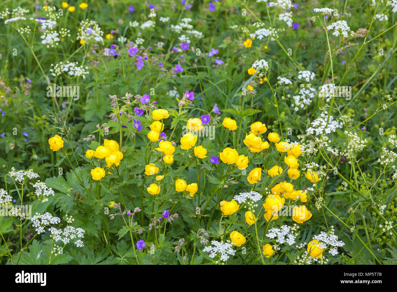 Globe flower that blooms in the meadow - Stock Image