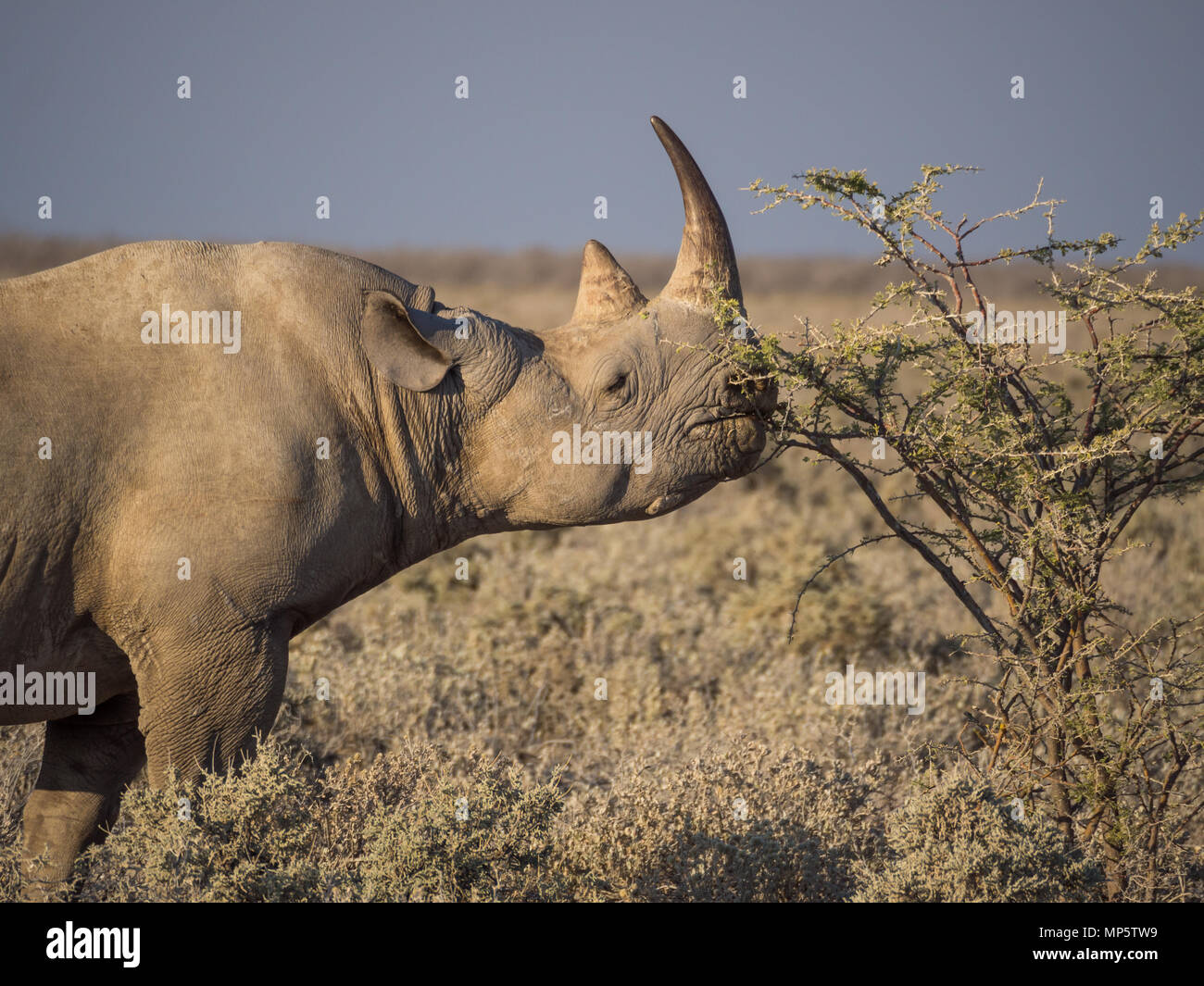 Portrait of large endangered black rhino feeding on small bush in Etosha National Park, Namibia, Africa - Stock Image