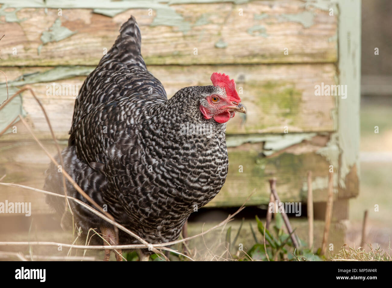 Free range mottled black and white hen. - Stock Image