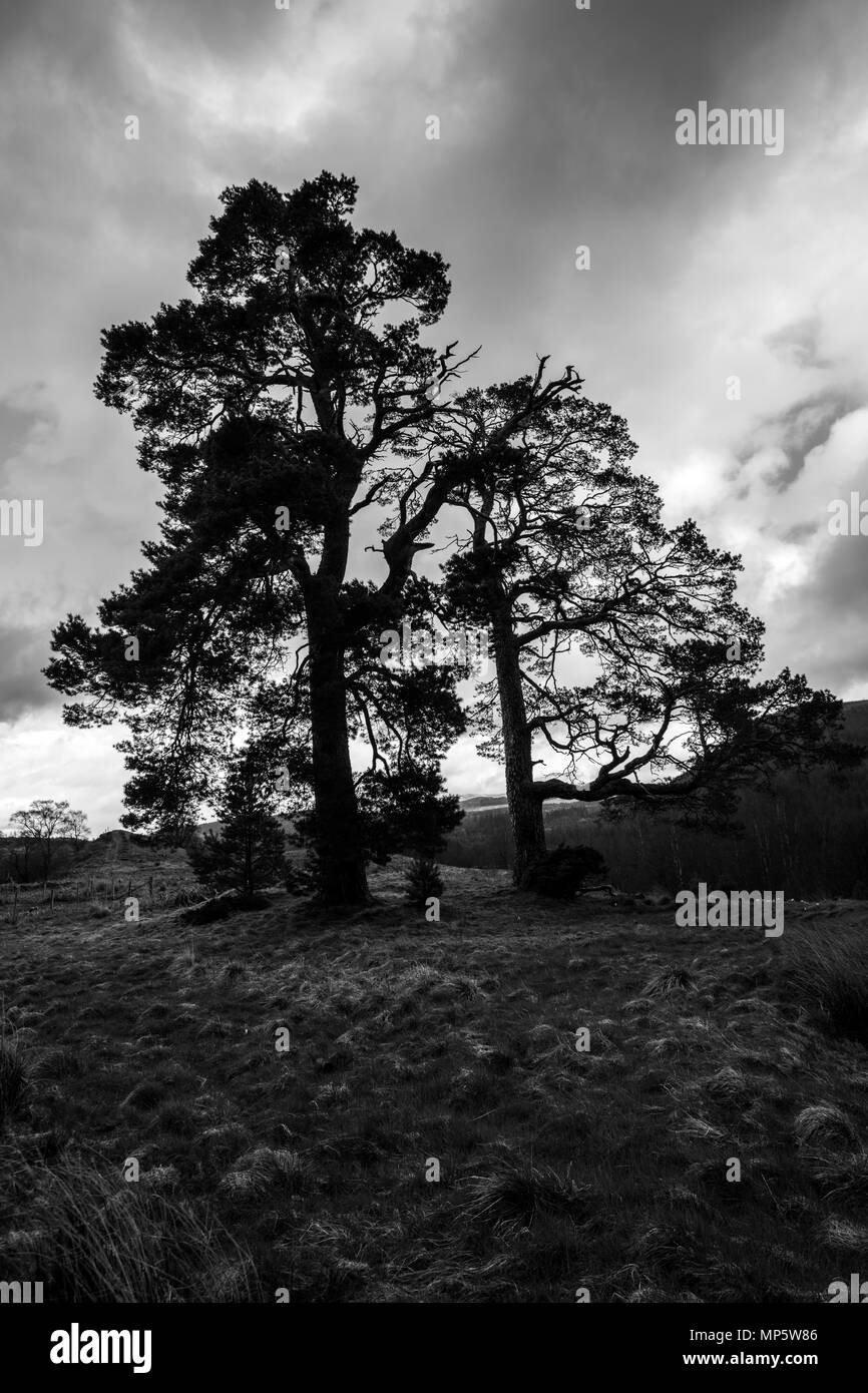 Black & White image of silhouetted pine trees on the slops of Craig Meagaidh (Craig Meggy) in the Highlands of Scotland. - Stock Image