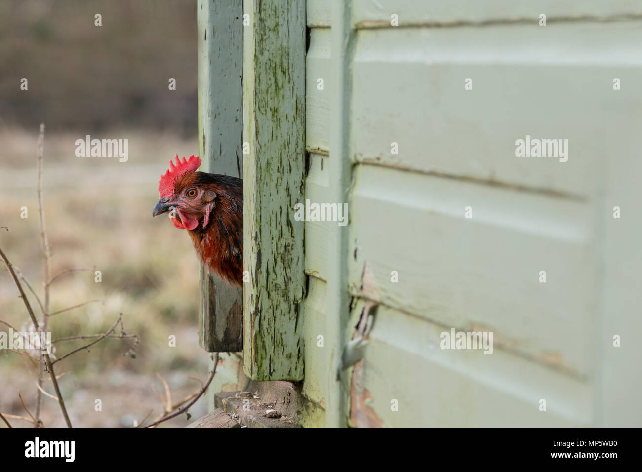 A black and tan hen emerging from a hen house. - Stock Image
