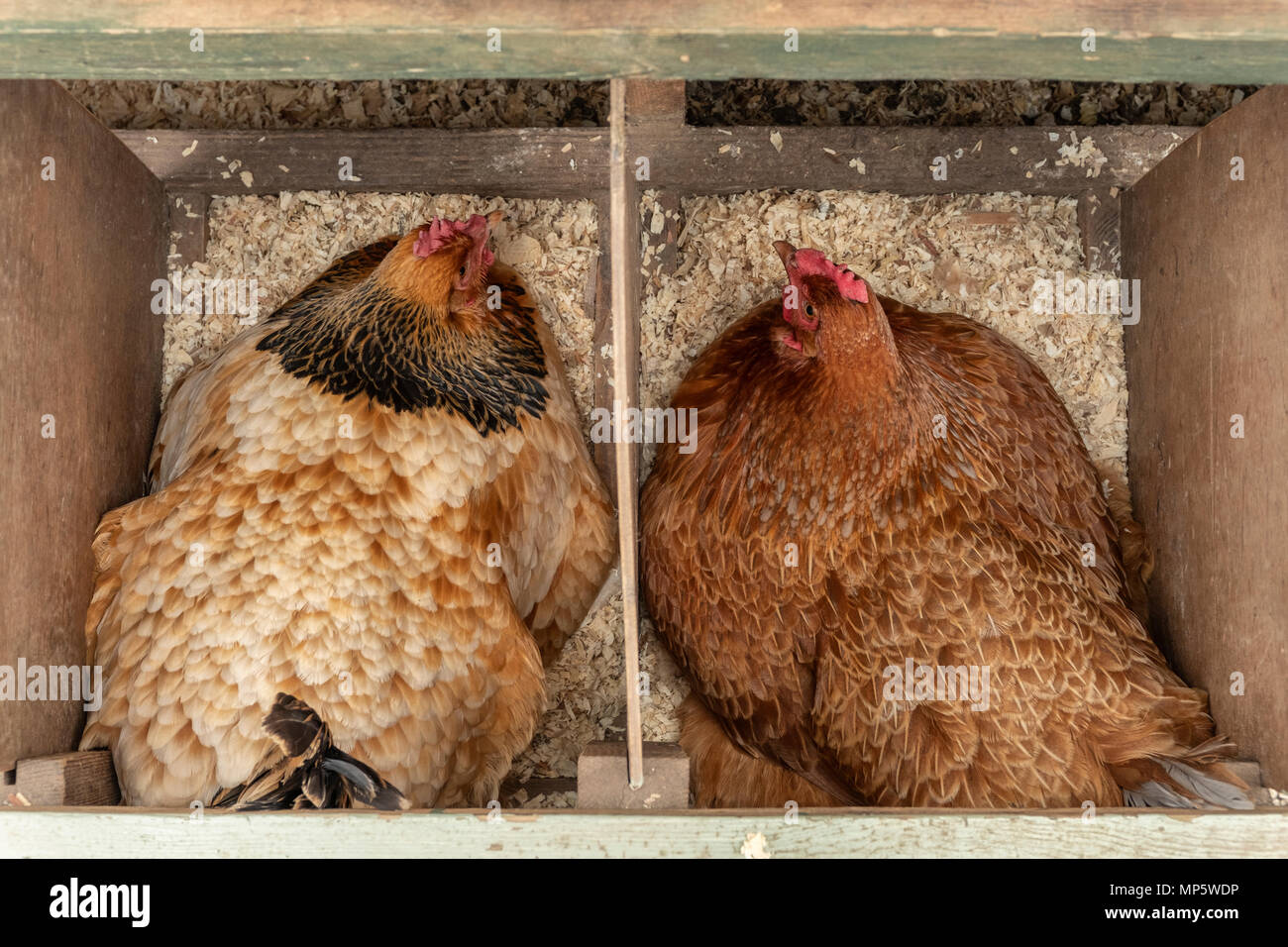 Two brown free range hens sitting on eggs. - Stock Image