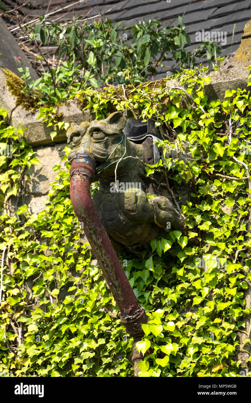 Cast Iron Drain Pipe And Gargoyle On A Church Wall Coverd In Ivy