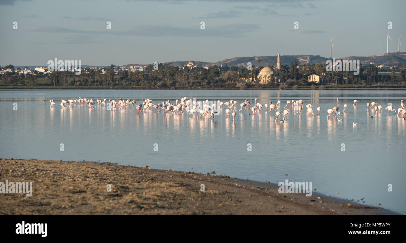 Group of wild Flamingo Birds resting and feeding at the salt lake of the city of  Larnaca, near jala sultan Tekke in Cyprus Stock Photo