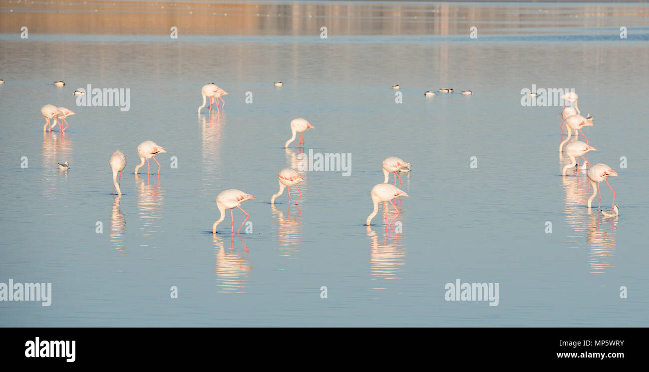 Group of wild Flamingo Birds resting and feeding at the  salt lake of the city of  Larnaca  in Cyprus Stock Photo