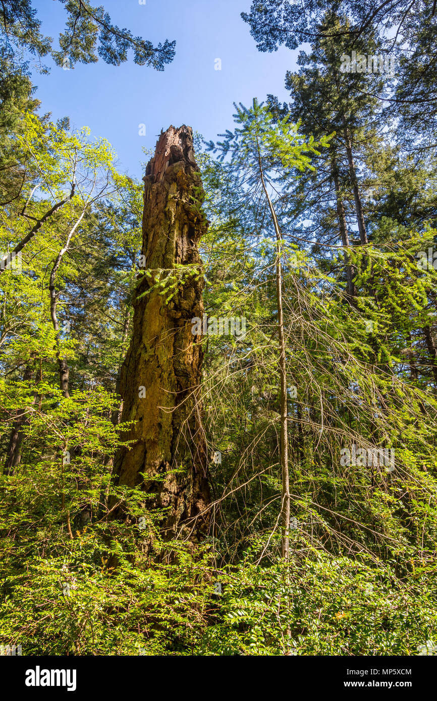Dead Redwood tree, Hornby Island, BC, Canada. - Stock Image