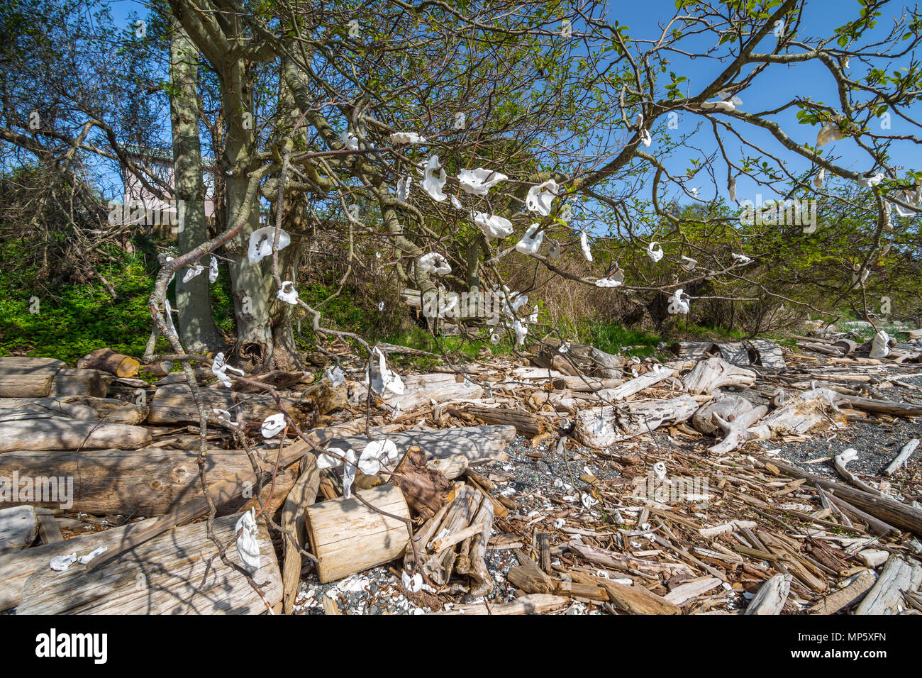 Oyster shells hung on tree branches, Sandpiper beach, Hornby Island, BC, Canada. - Stock Image