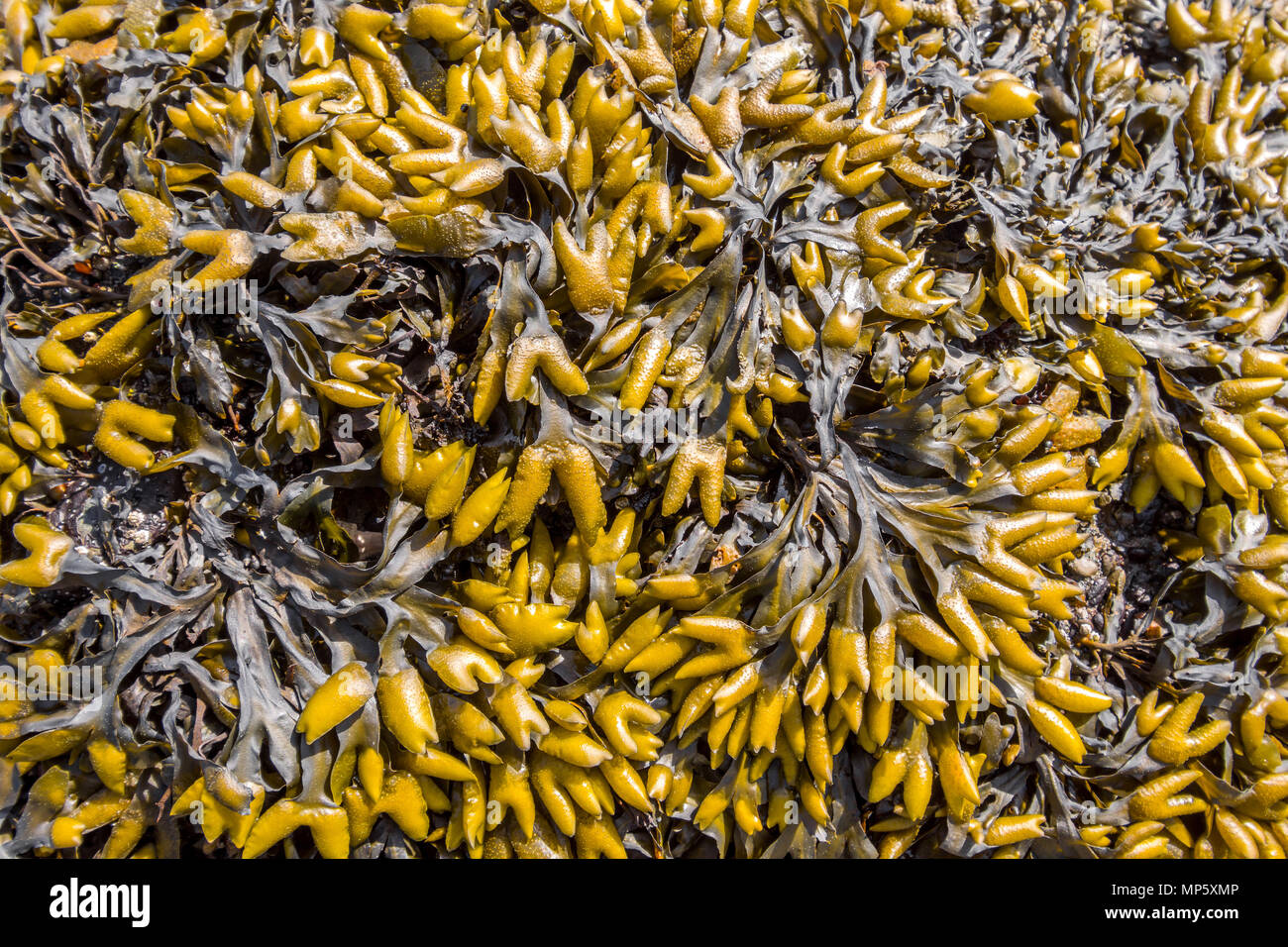 Bladderwrack on beach, Hornby Island, BC, Canada. - Stock Image