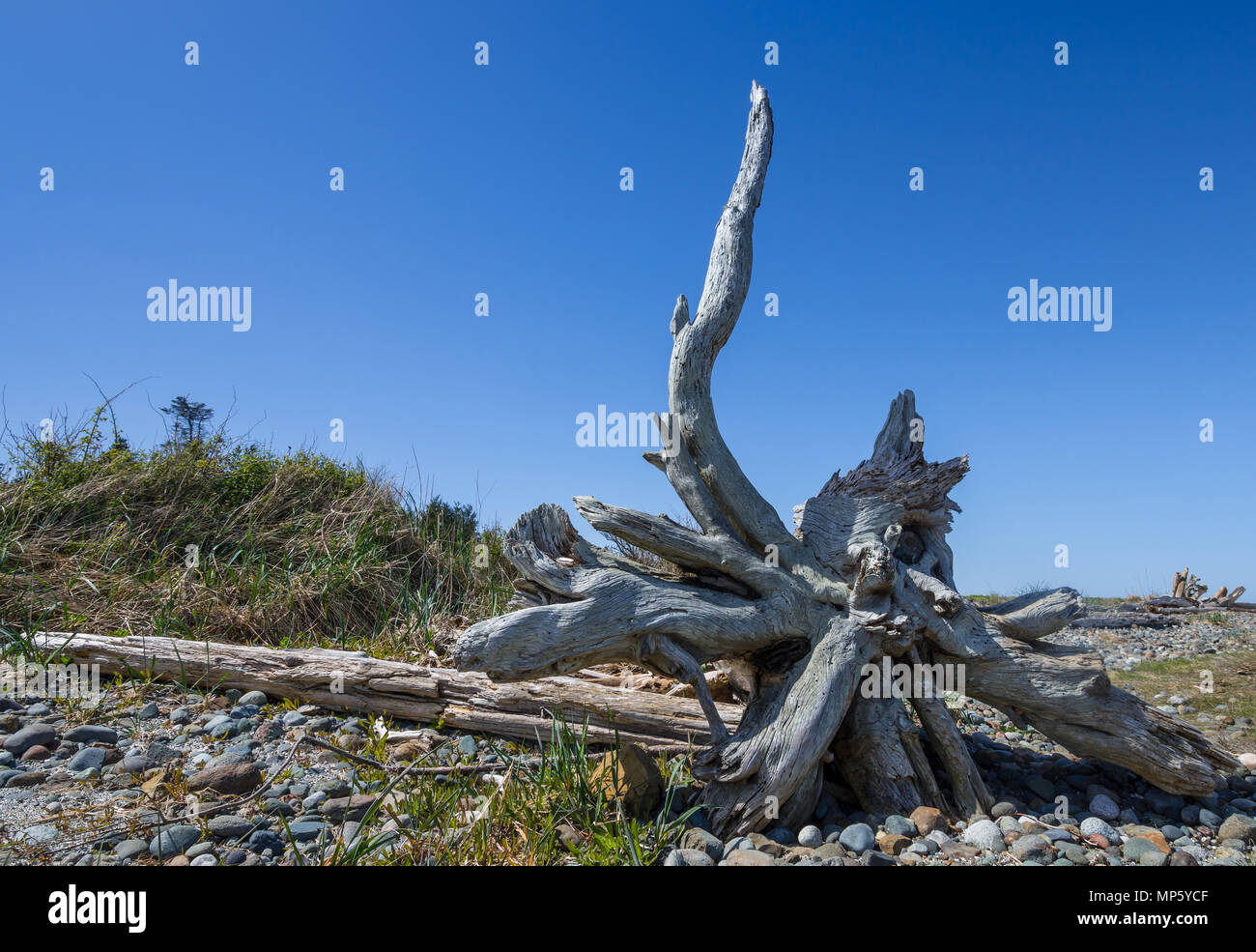 Beached tree trunk and roots, Hornby Island, BC, Canada. - Stock Image