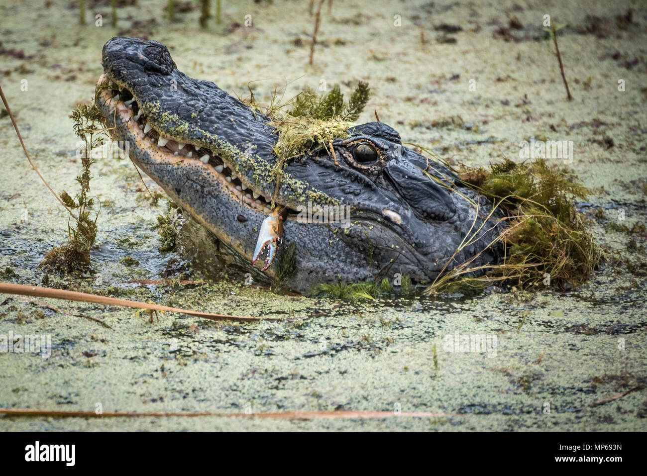 Florida alligator lifts his head above algae covered water to eat a freshly caught crab in the Guana River at Ponte Vedra Beach along Florida A1A. - Stock Image