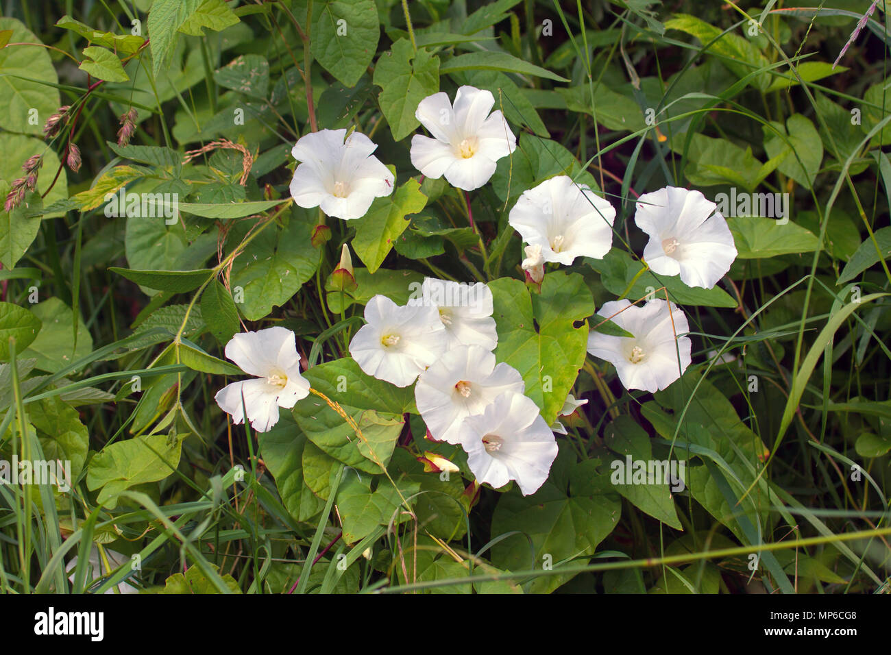 Bindweed Convolvulus Sp On Meadow Group Of Flowers White