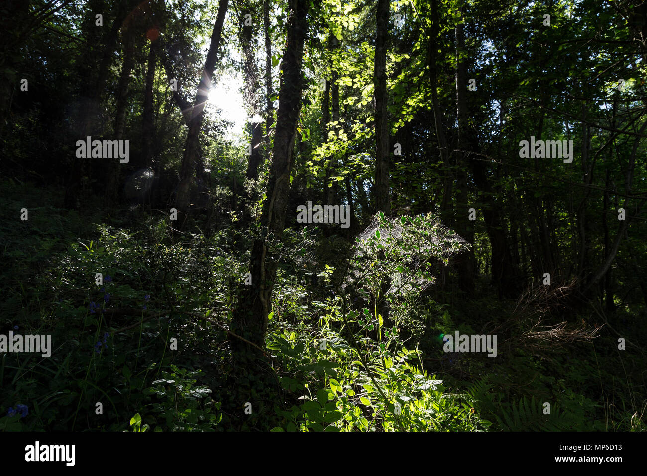 thicket, grove, wood, coppice, stand, clump, brake,shrubbery, vegetation, greenery, ground cover, underwood, copsewood, brushwood, brush, scrub, under - Stock Image