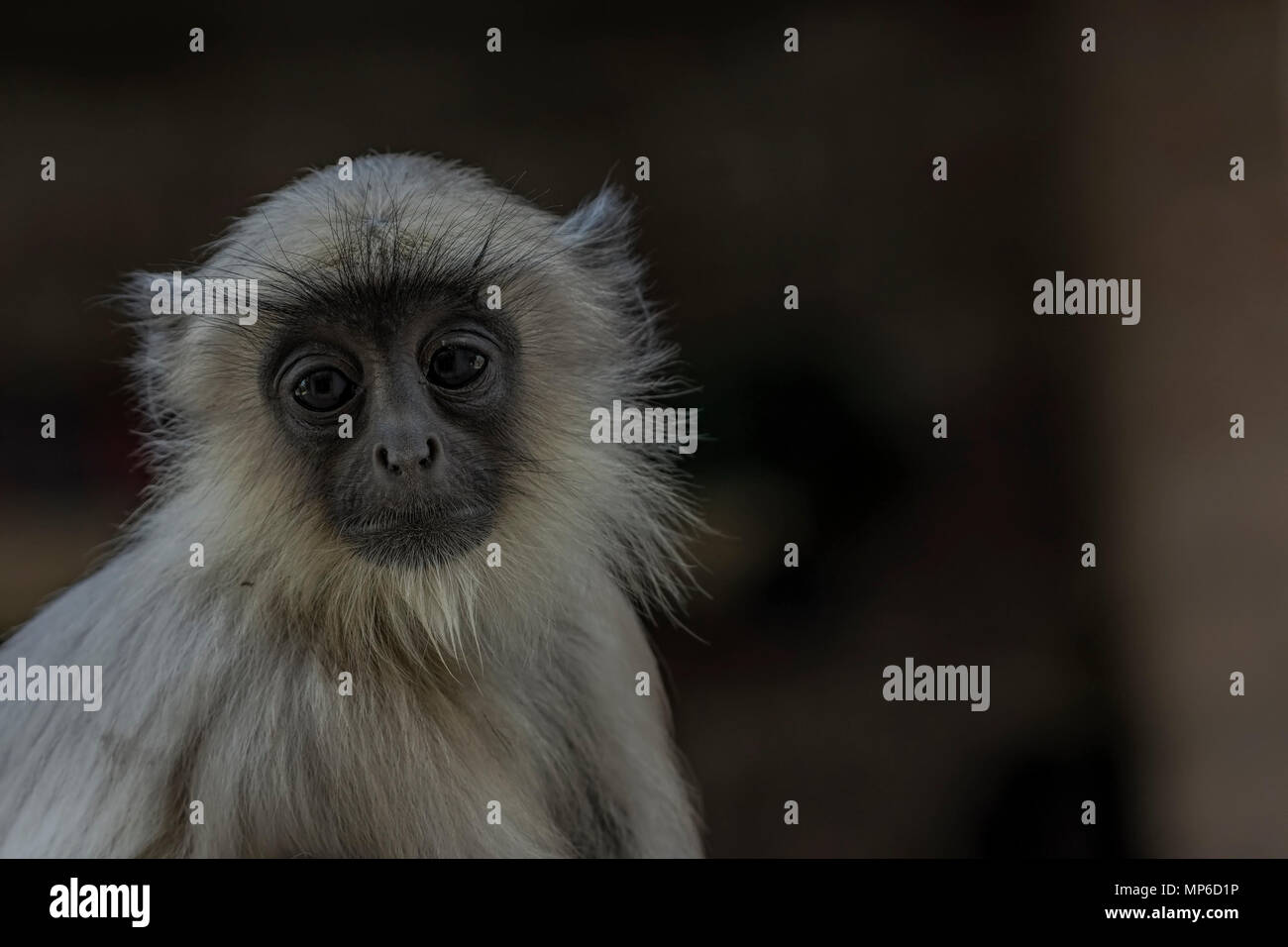 Gray langurs (Semnopithecus) or Hanuman langurs, the most widespread langurs of the Indian Subcontinent. - Stock Image