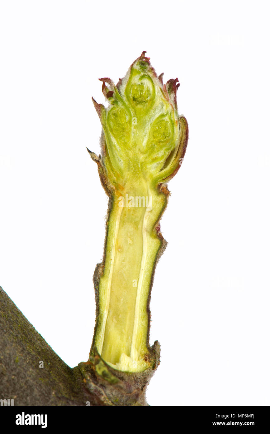 Section through a leaf and flower bud of an apple twig in late winter swelling and starting to open - Stock Image