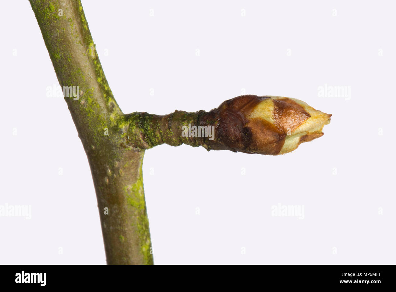 Tight leaf and flower bud on an pear twig in late winter beginning to swell and starting to open in early spring - Stock Image