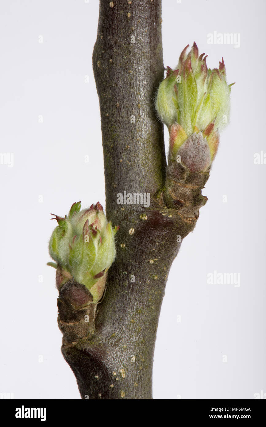 Leaf and flower bud an apple twig swelling and starting to open in early spring - Stock Image