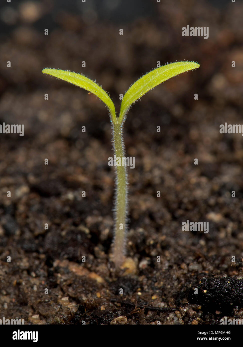 Gardeners delight, cherry tomato seedling just germinated with cotyledons above the soil - Stock Image