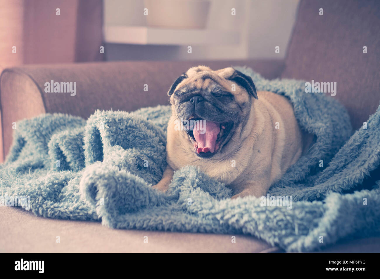 sunday morning time with window light at home for a brown nice funny pug lazy wake up  with open mouth and yawn. tired have to go work concept. - Stock Image