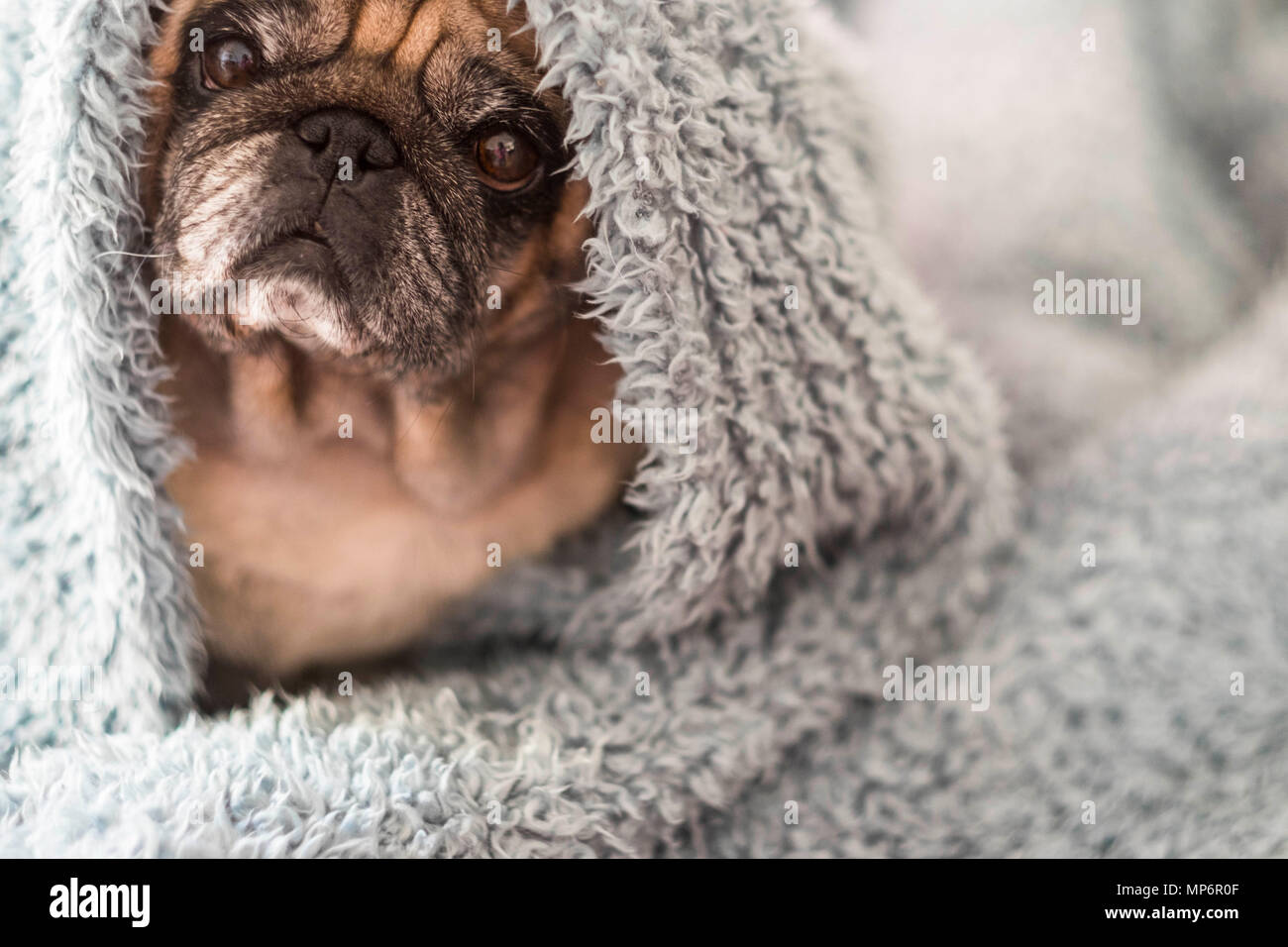 nice old pug under the sheet at home. sweet and nice to protect your home. beautiful colors blue and cyan - Stock Image
