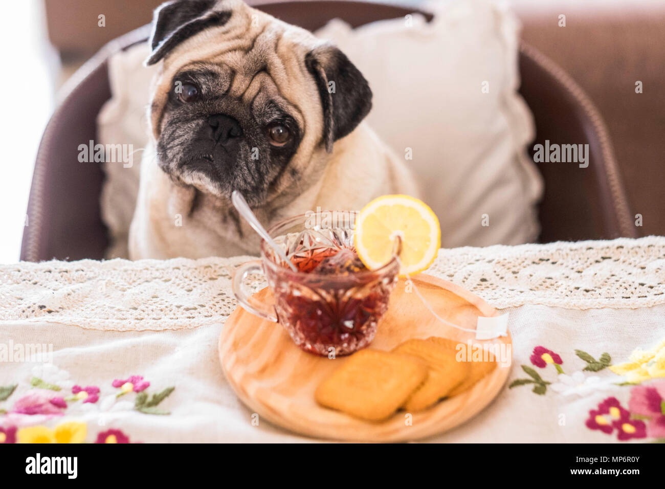 tea time at home in the afternoon for a funny dog pug sit down at the table. looking to you with curiosity and some biscuits food on the table - Stock Image
