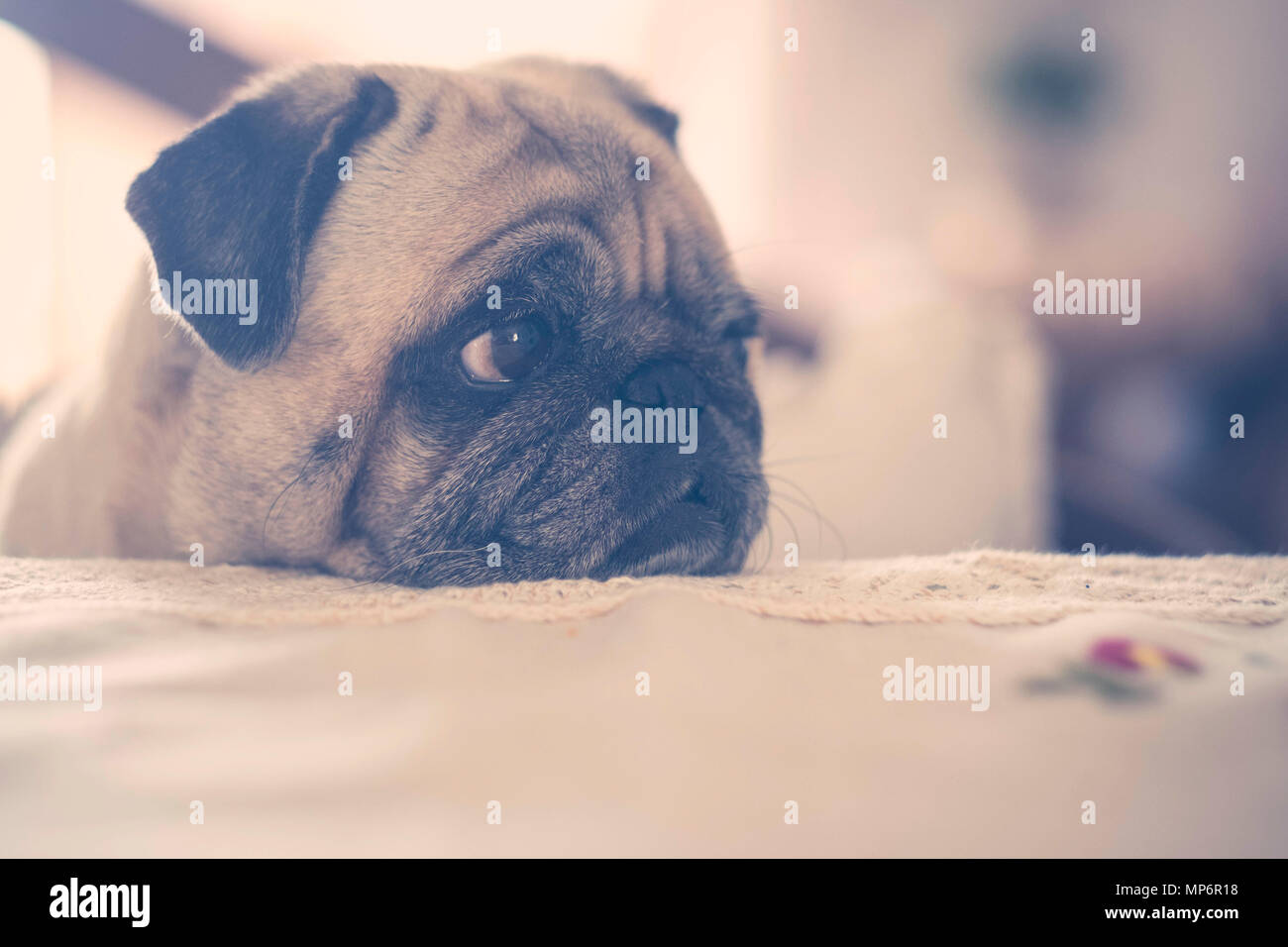 sweet nice pug dog with background defocused. brown tones and vintage style. eyes looking at his side with curiosity. - Stock Image