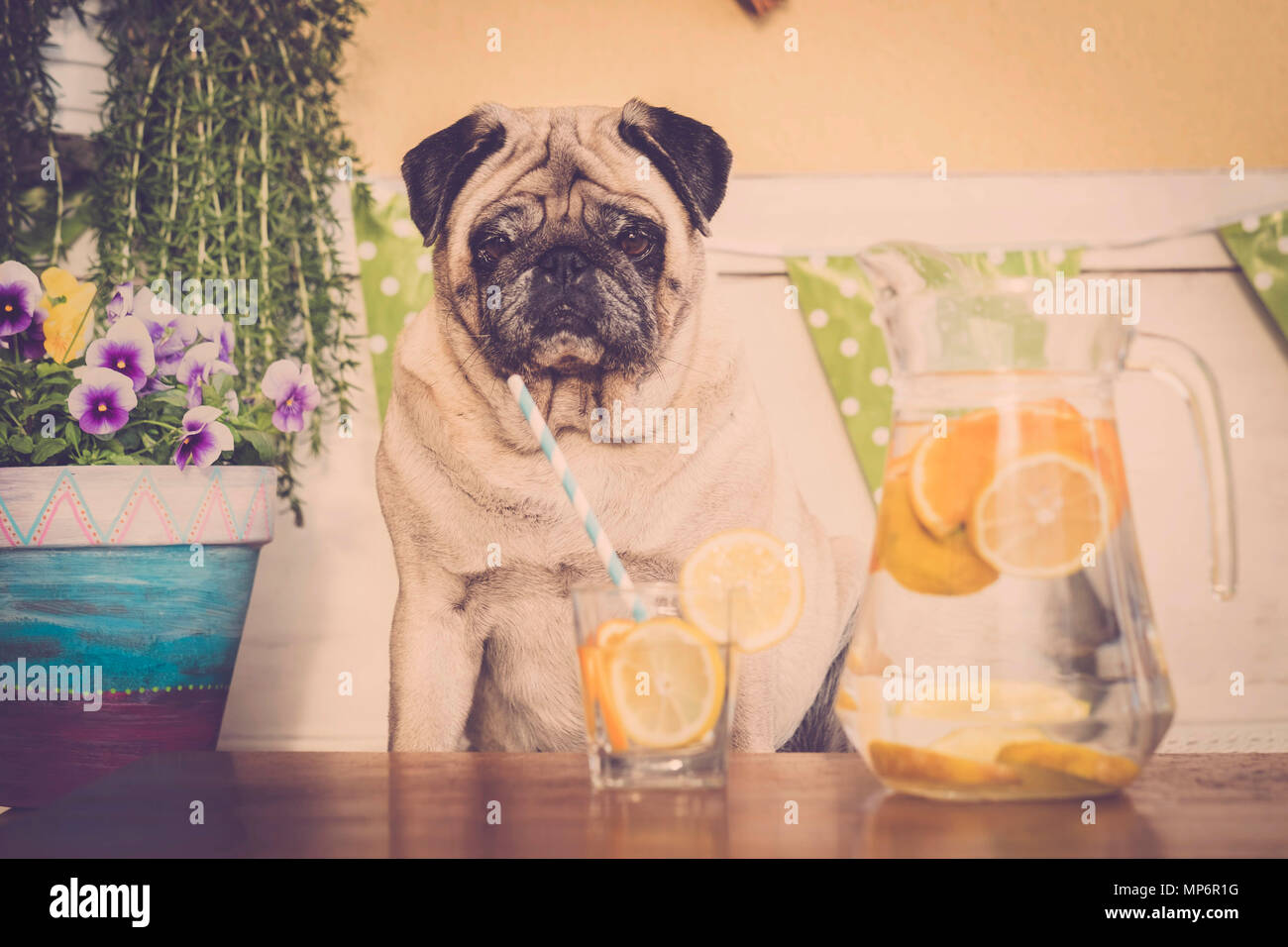 sit down sad clear pug start diet to lost weight. fitness health care concept in funny picture. outdoor. - Stock Image