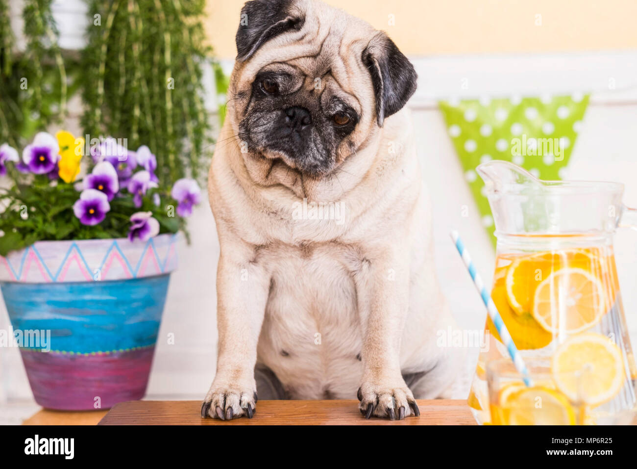 hungry dog pug funny start diet and healthy lifestyle with water and lemon to depurate the body. fitness outdoor leisure activity with nice food and d - Stock Image