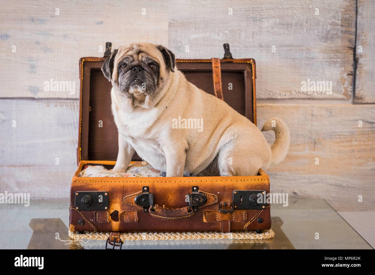 nice pug dog inside a trolley case ready to travel and discover the world. wonderlust concept. - Stock Image