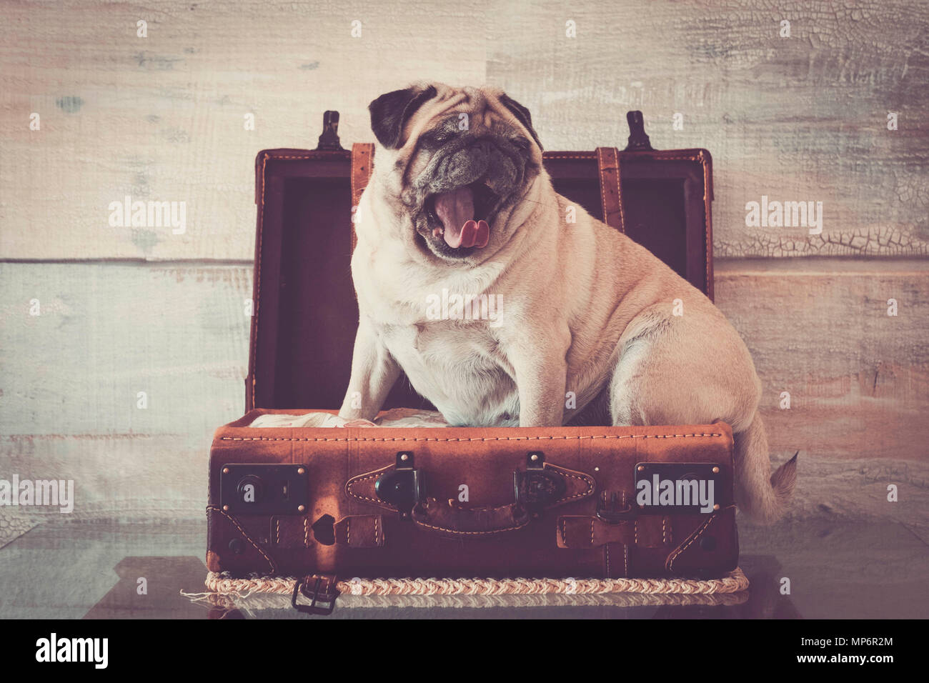 vintage filter and scene with old white pug lay down inside an old carrying case luggage. defocused background ancient style for wallpaper. lazy trave Stock Photo