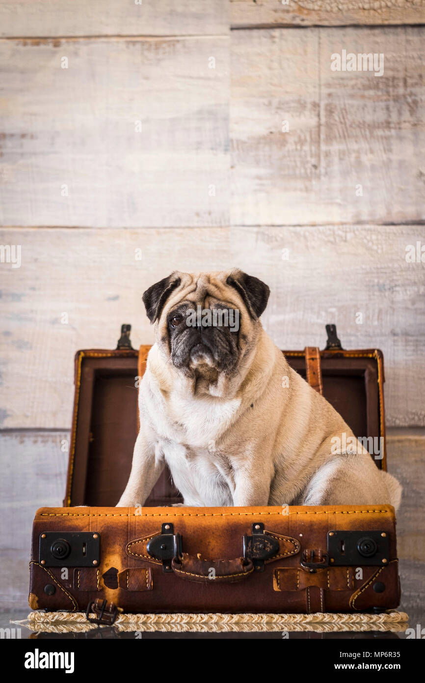 dog pug sweet and funny inside a luggage on the table, always ready to start. wanderlust concept and old vintage troppey. Stock Photo