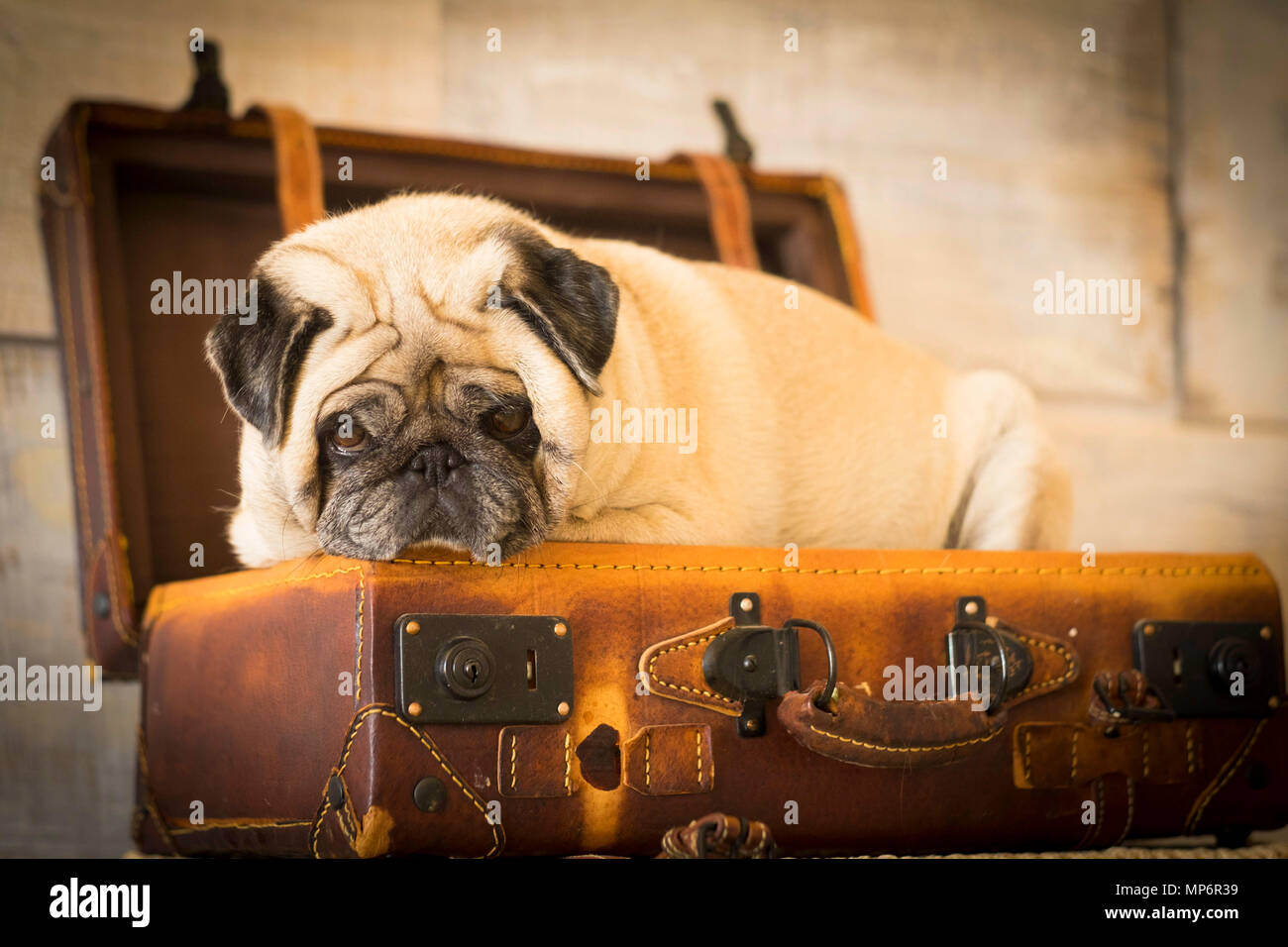 vintage filter and scene with old white pug lay down inside an old carrying case luggage. defocused background ancient style for wallpaper - Stock Image